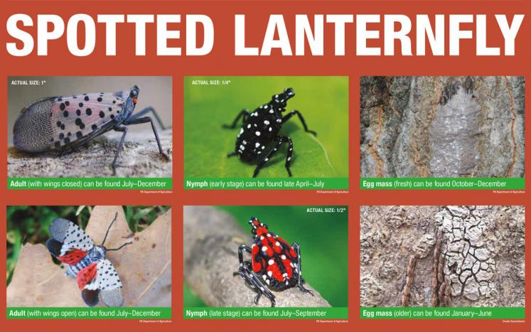 spotted lanternfly pic